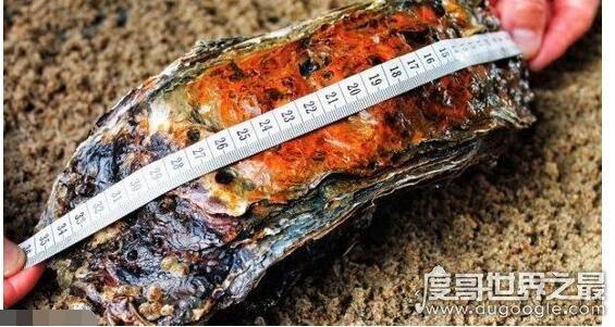 世界上最大的牡蛎,研究员捕捞到35.5厘米长/4斤重的牡蛎