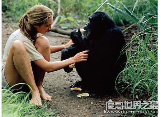 世界上最懂猩猩的人,珍妮古道尔(野外和猩猩共处38年)