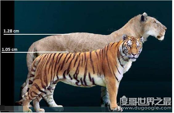 殘暴獅vs劍齒虎誰更大,殘暴獅(它們是歷史上最大的貓科動物)