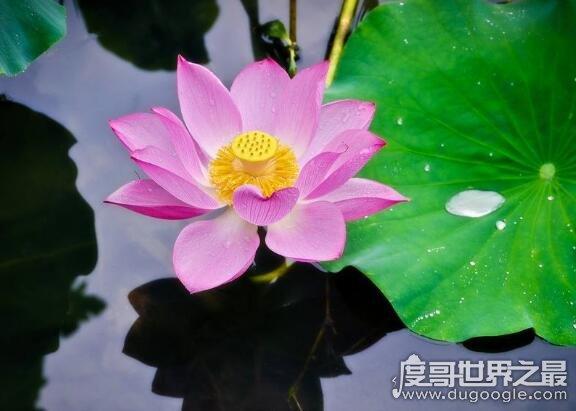 荷花什么时候开花,花期一般在6月到9月(七八月盛开最美)