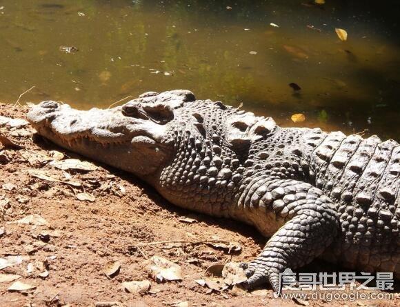 鳄鱼是什么动物,是卵生脊椎类爬行动物(与恐龙同时代的古老生物)