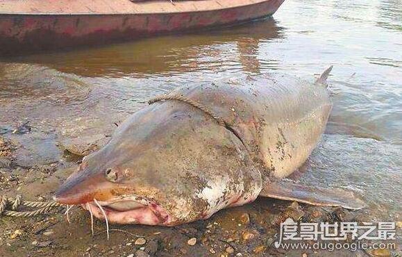 世界上最大的淡水魚,達氏鰉俗能長到1噸以上
