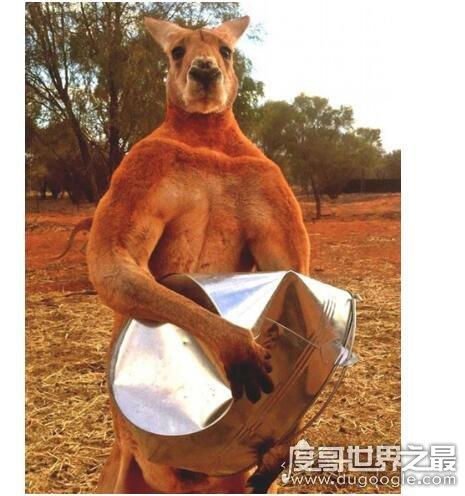 史上最大的袋鼠,澳洲巨型袋鼠(其体型与河马差不多且肌肉发达)