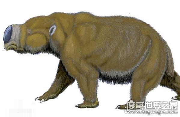世界上體型最大的袋鼠,身板可以與河馬媲美