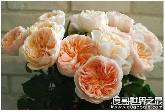 最贵的朱丽叶花坛多少钱,价值300万英镑(观赏性极高的珍惜植物)