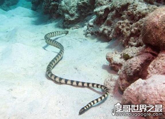 关于蛇的世界之最盘点,地球上最毒的蛇乃贝氏海蛇(毒性强且稳定)
