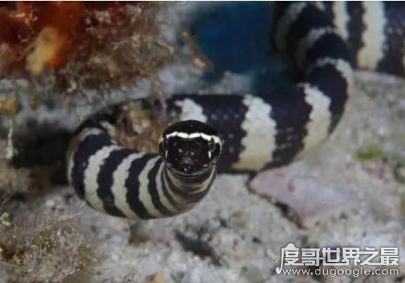 世界上最毒的蛇是那種蛇,裂頰海蛇毒性要比眼鏡蛇強8倍