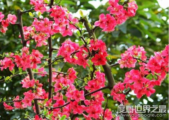红瘦是什么花,是指红颜色的花(绿肥红瘦成语出自李清照的诗)
