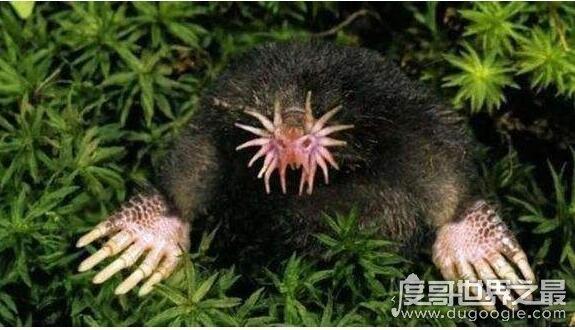 动物界中最快的猎食者,星鼻鼹鼠(能在1/4秒〖的时间里完成捕食)