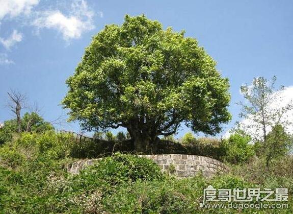 世界上壽命最長的茶樹,錦繡茶王至少有3200年的歷史