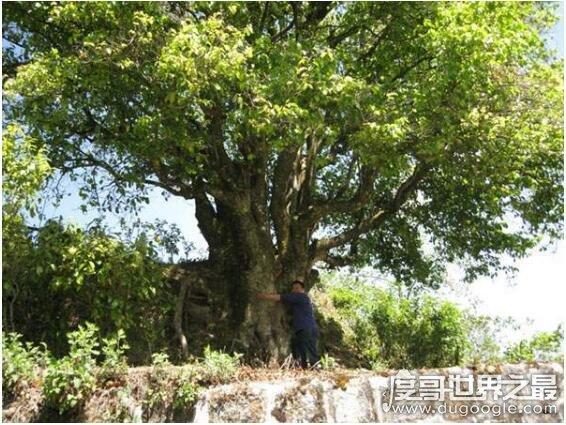 中国最大的茶树,锦绣茶王有3200年的的历史(树干直径有1.84米)
