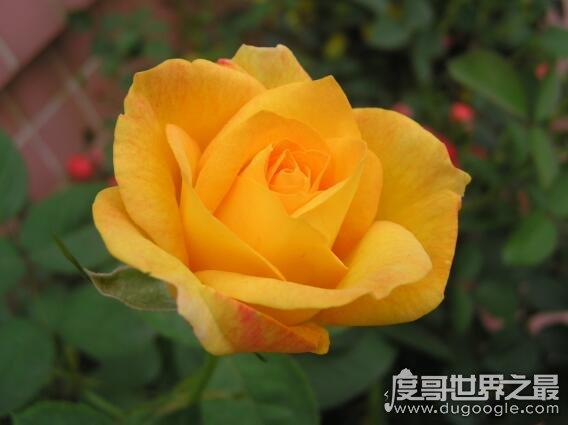 黄玫瑰代表什么意思,花语是幸运(还有为爱道歉的意思)