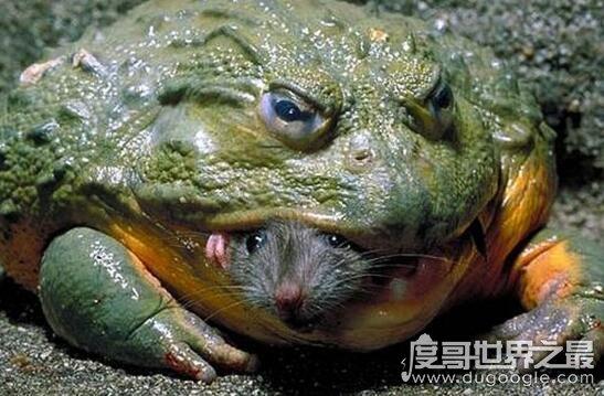 世界上最小的青蛙,阿马乌童蛙长7.7毫米(关于青蛙之最盘点)