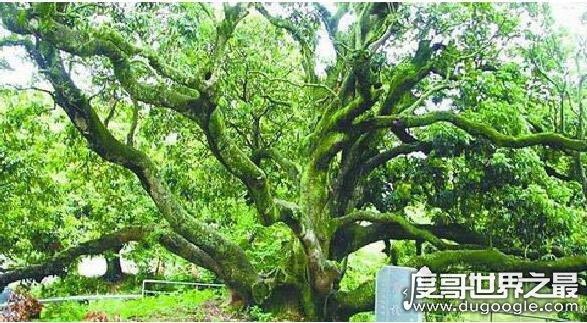 世界上最古老的橄榄树,拥有1658年的高龄(可追溯到公元362年)