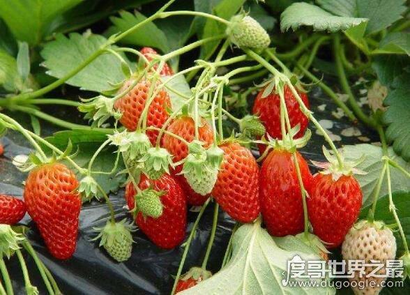 草莓是什么季节的水果,分为春播和秋播(一般6~8月/1~3月收获)