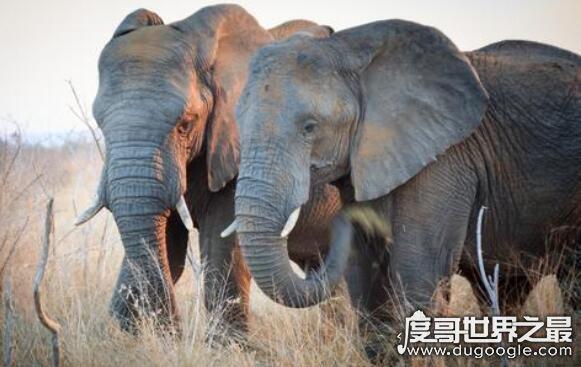 世界上最高的哺乳动物是什么,长颈鹿(站立时可达到6~8米高)
