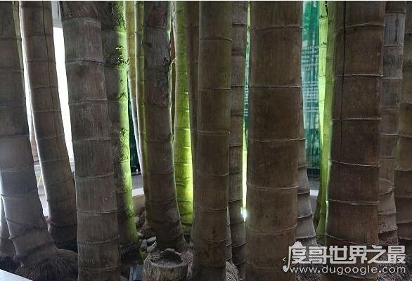 世界上最大最粗的竹子,巨龙竹(最粗能达到30厘米/高达45米)