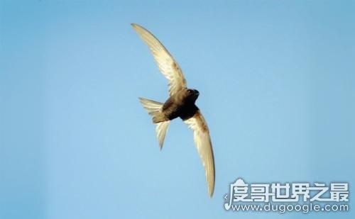 世界上飞的最快鸟是尖尾雨燕,最快一秒可飞100米
