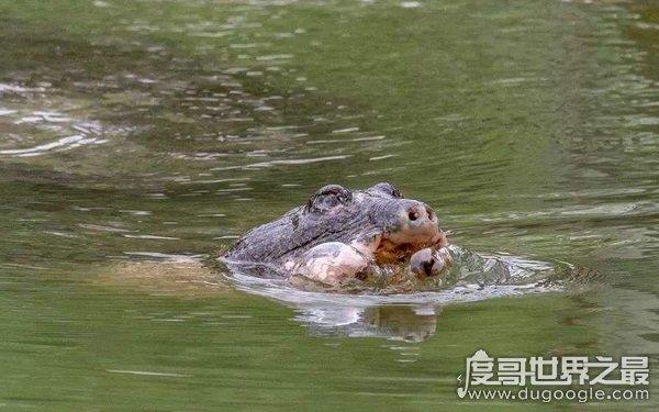 中国上仅剩一只的动物,面临灭绝的绝境(斑鳖)