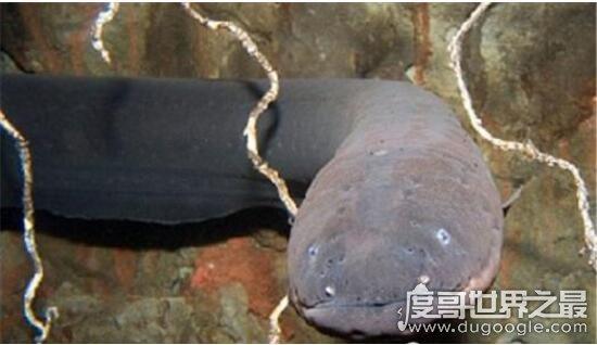 世界上最大的电鳗有多大,长达2.5米/重40斤(电不死人)