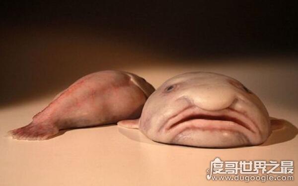 世界上奇怪的鱼,水滴鱼膨胀似鼻子(为了更好地生存繁衍)