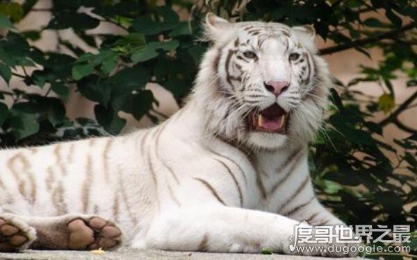 世界上最好看的动物,白化孟加拉虎外表出众(不利于自己生存)