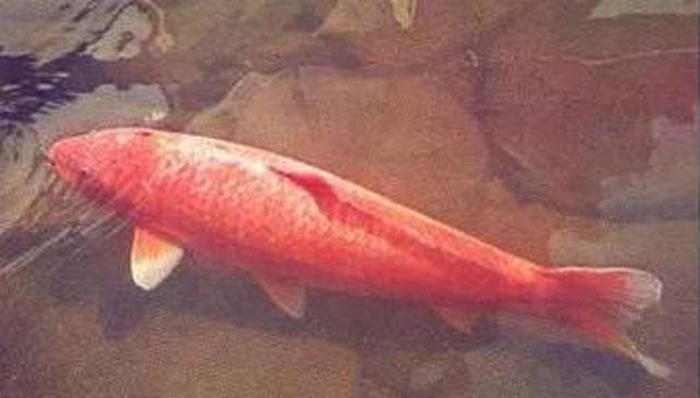 世界最大的锦鲤鱼有多大,1米5长的一条锦鲤不存在(最长1米1)