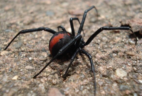 世界上最毒的蜘蛛排名,最毒蜘蛛巴西游走蛛获吉尼斯认证