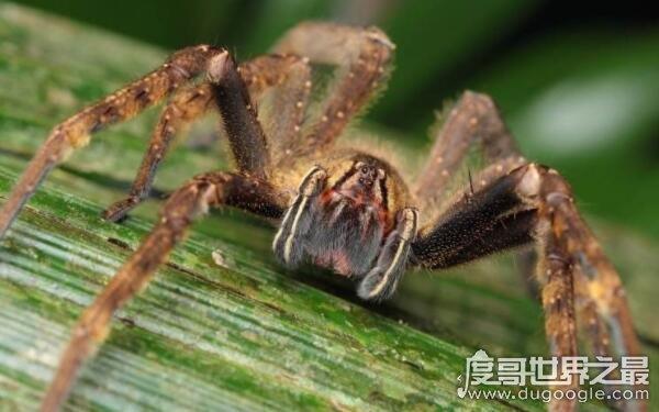 最新老虎机:上最恐怖的蜘蛛,人类被咬后会危及生命(巴西漫游蜘蛛)