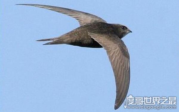 世界上飞行最快的动物,平时飞行速度170千米/小时(尖尾雨燕)
