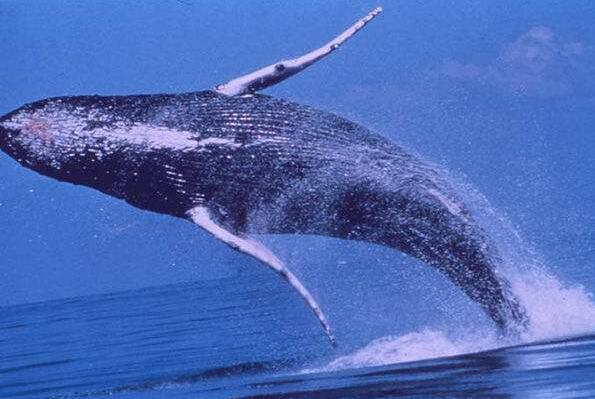 史上最大的动物蓝鲸,长达33.5米重达170吨(心脏如一辆汽车)